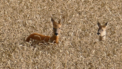 Wildlife in the Cotswolds: Deer in the wheat