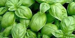 Herb, Basil