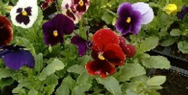 Pansy (Mixed Colours)