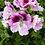 Thumbnail: Geranium, Mixed Colours