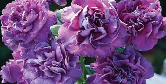 Dianthus, Violet