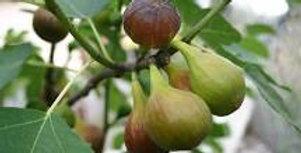 Fig, Brown Turkey
