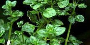 Herb, Broad Leaf Thyme