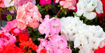 Geranium, Mixed Colours