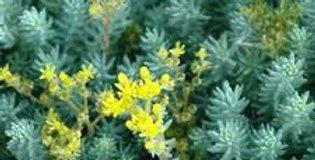 Sedum Reflexum (Yellow)