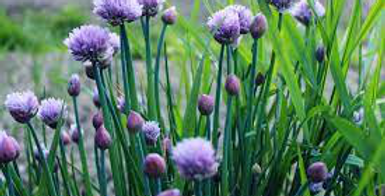 Herb, Chives