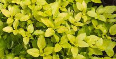 Herb, Oregano Gold