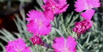 Dianthus Caesius