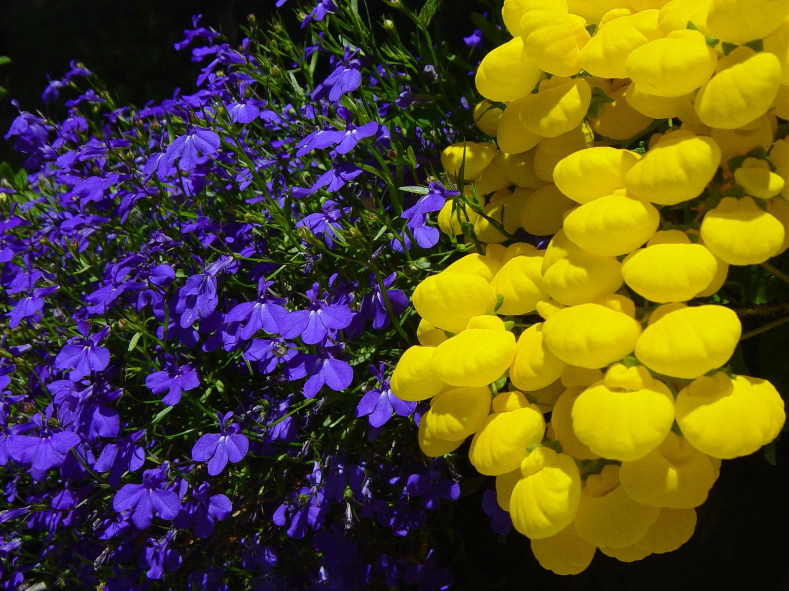 Bocche di leone e violette 1