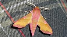 Många nattfjärilar vid Norra Mossby