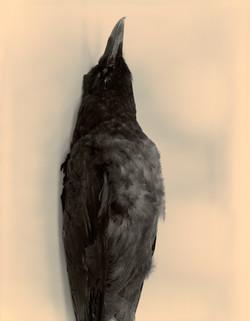 Raven_contact#15_1_crop