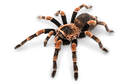 CO_CHILEAN ROSE TARANTULA.png