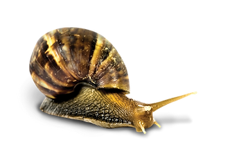CO_GIANT%20AFRICAN%20LAND%20SNAIL_edited