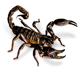CO_ASIAN%20FOREST%20SCORPIAN_edited.png