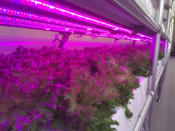 Mid-scale Indoor Farm with RB-LED
