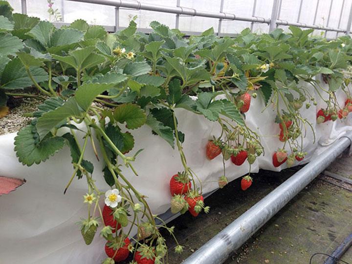 イチゴ栽培状況