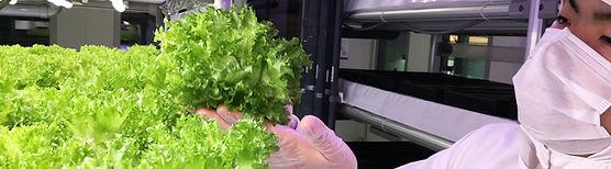 Leafy Lettuce Harvest