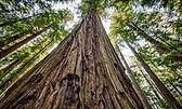 redwoods.jpeg
