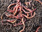 worms.jpg