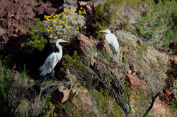 Egrets on the Colorado River