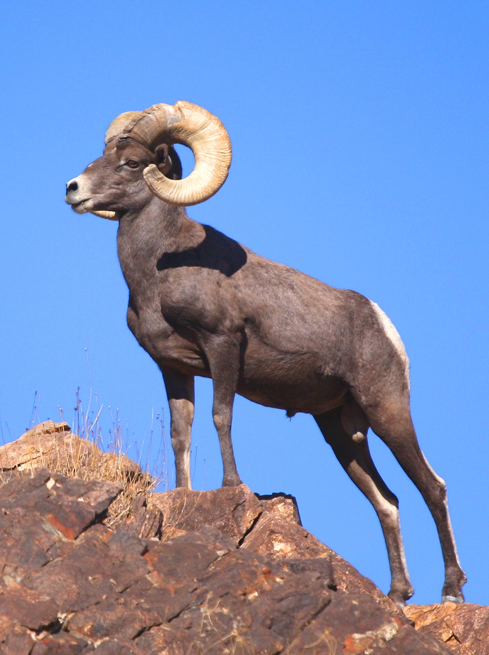 Handsome Ram Big Horn Sheep