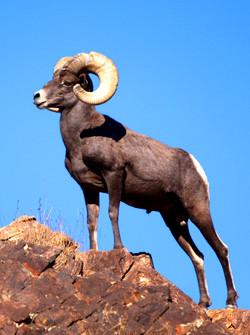 "Large Male Ram"" Desert Bighorn Sheep"
