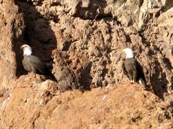 Bald Eagles on the cliffs