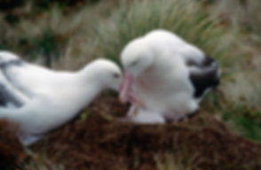 a pair of Southern Royal Albatross  at
