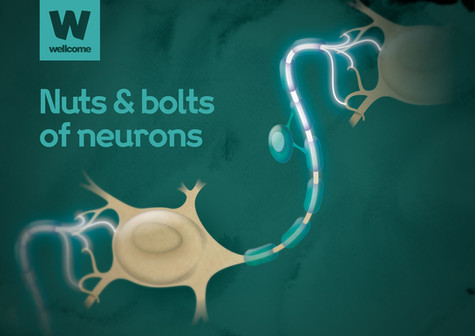 Nuts & Bolts: Neuron scientific illustration for Wellcome by Bret Syfert