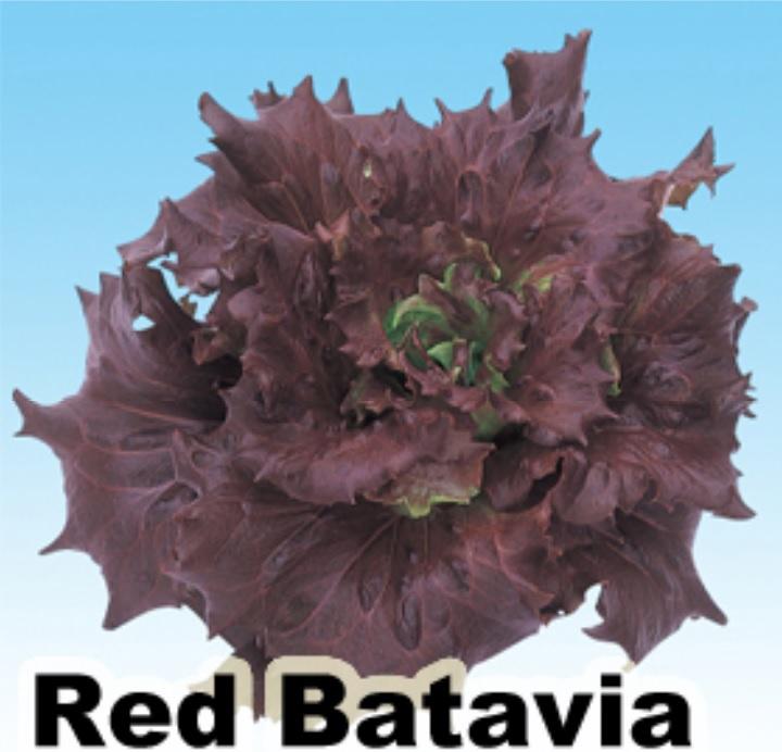 red batavia
