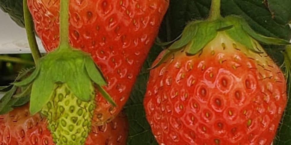 「堅FUN享」士多啤梨收成日 K-FunShare: Strawberry Harvest Day