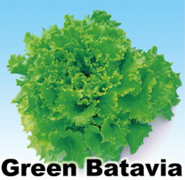 green batavia