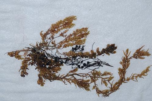 Sea Weed Digital Art#3