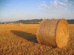 campo con covone di grano