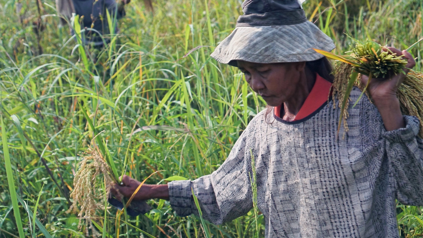 ELLAINE-JOYCE-SUENAN_Rice-harvesting-6_e