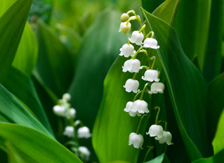 Happy 1st May, but why Lily of the Valley?