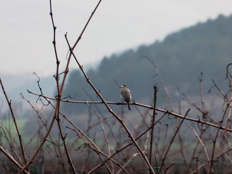 Anillamiento de becadas: el  proyecto de Bodega Otazu para fomentar la biodiversidad en sus viñedos