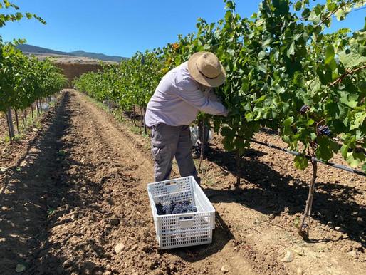 Bodega Otazu da comienzo a su vendimia de 2020 a la que se suma una parcela de Pinot Noir