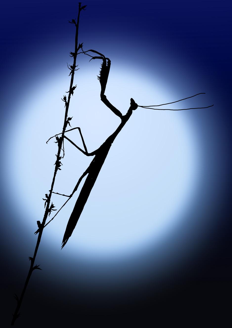 Praying Mantis in moonlight