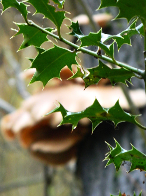 Holly Leaves - 2
