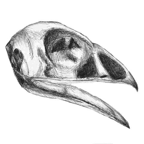 Golden Pheasant Skull