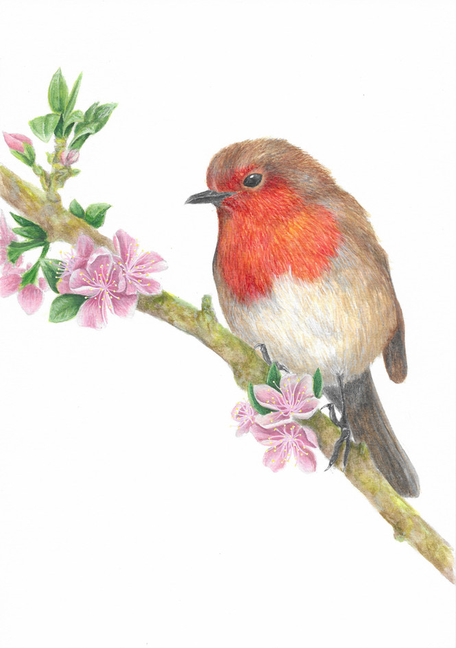 Robin on Cherry Blossom Branch - Commission