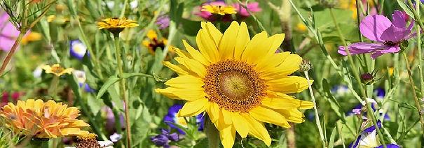 sunflower-3696960_960_720.jpg
