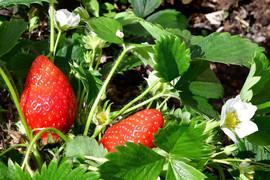 Jean Pierre fraises.jpg
