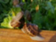 lumache di Cortona