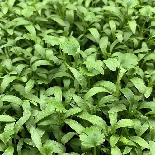 Cilantro Microgreens