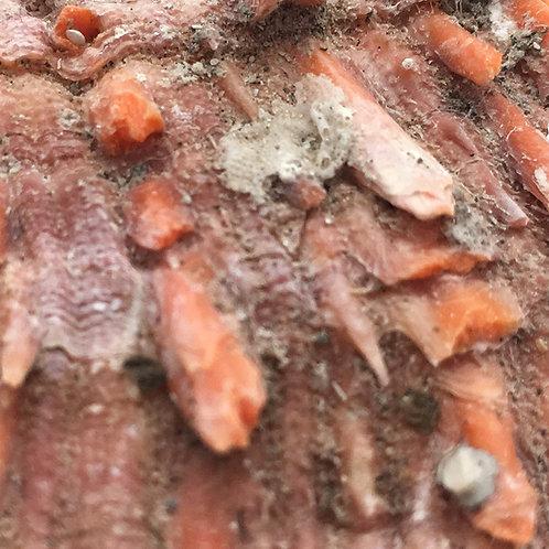 Spondylus princeps (Pacific Thorny Oyster) Shell • Mexico • 34.1 grams ~ 62x53x16mm