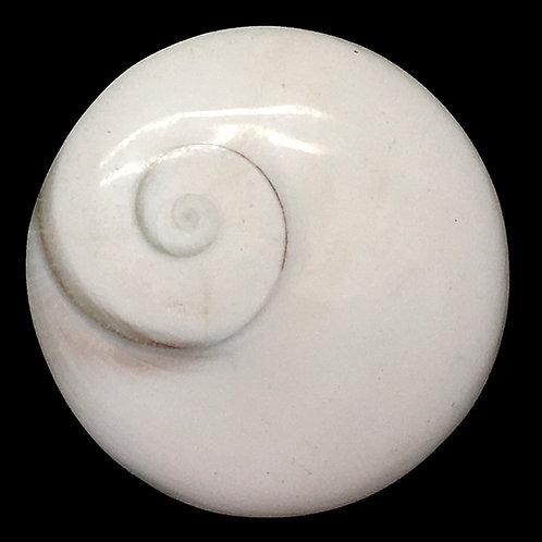 Shiva Eye Shell Cabochon • Madagascar • 21.3 grams 21.3 grams ~ 38x10mm