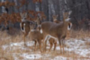 whitetail-deer-winter-snow011207006509.j