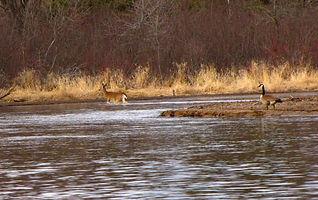 Goose and Deer-R.jpg